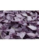 Seeds - Purple Basil - Dark Opal