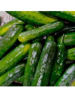 Seeds - Field Cucumber - Tourne-Sol Select