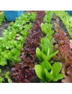 Seeds - Salad Mix