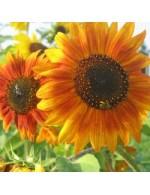 Seeds - Sunflower Mix