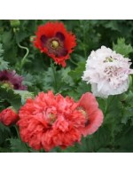 Seeds - Poppy Mix