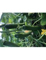48 Field Cucumber