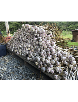 Musik Garlic 1 bulb