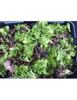Mesclun Lettuce Organic