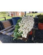Turnips HakureÏ
