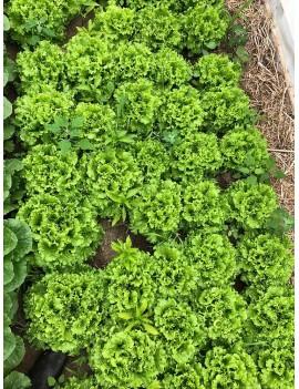 Green Curly Lettuce