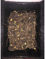 Black Radish 5lbs organic