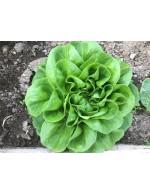 Green Butter lettuce
