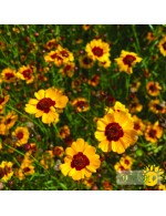Seeds - Hohe coreopsis