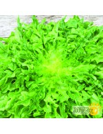 Regal Oak green oakleaf lettuce