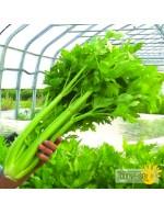 Seeds - Tall Utah celery