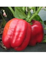 Red Sweet peppers