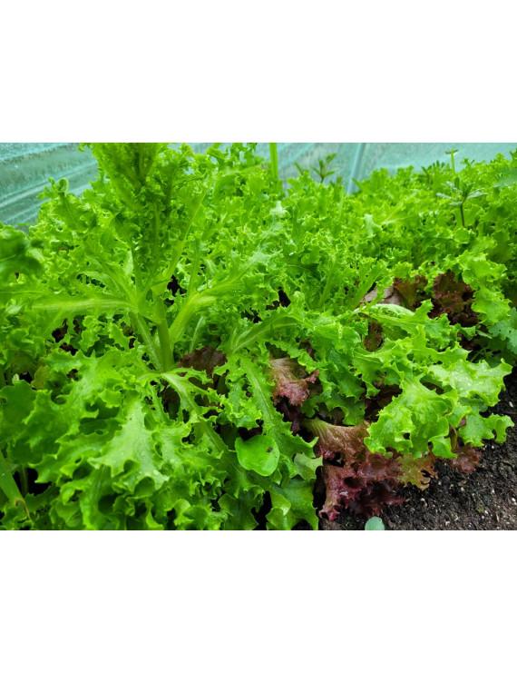 Mesclun Lettuce