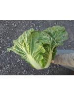 Chinese Cabbage – organic