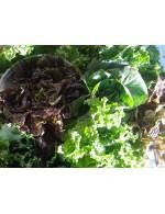 Mini lettuce – organic