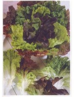 Mixed salad leaves – organic