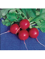 Red Radish bunch-organic