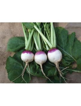 White Turnip – organic