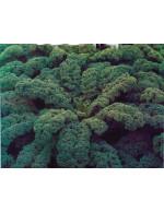 Kale – organic