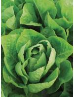 Romaine Lettuce – organic