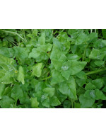 New Zealand Spinach - organic