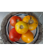 Yellow and red field tomatoes – organic
