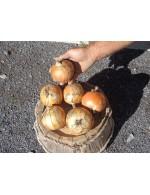 Spanish oignons – organic