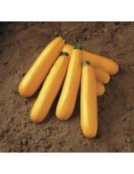 Medium size yellow summer squash – organic