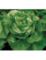 Butterhead Lettuce – organic