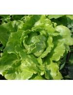Nevada lettuce – organic