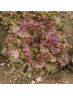 Red Leaf Lettuce – organic