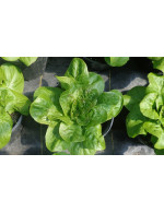 Mini Romaine Lettuce – organic