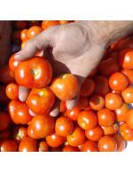 «Stupice» red tomato - organic