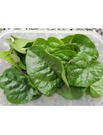 Malabar Spinach - organic