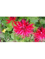Bee Balm Herbal Tea
