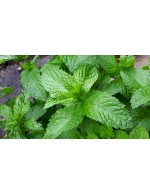 Dried mint - 250 ml reutilisable pot