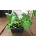 Eggplant  'Black Beauty' plant