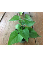 Sweet potatoe 'Georgia Jet' plant