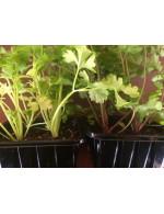 Celeriac plant