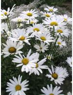 Alaska Daisy plant
