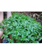 Mint 'pouliot' plant