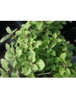 Oregano 'grec' plant