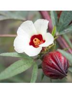 Roselle hibiscus plant