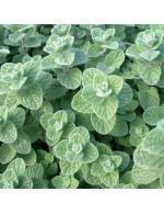 Oregano 'zatar' plant