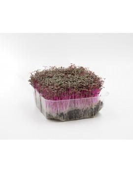 Amaranth micro-greens on soil