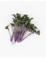 Red Cabbage sprout, freshly cut
