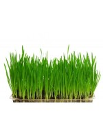 Wheat Grass on soil