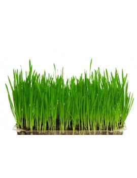 Wheat Grass precut bag og 250g