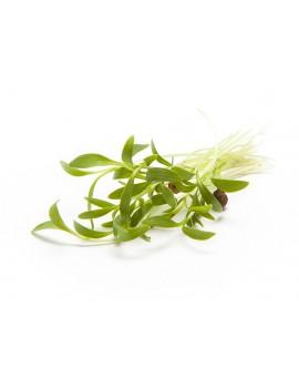 micro coriander, freshly cut
