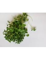 Turnip micro-greens, freshly cut